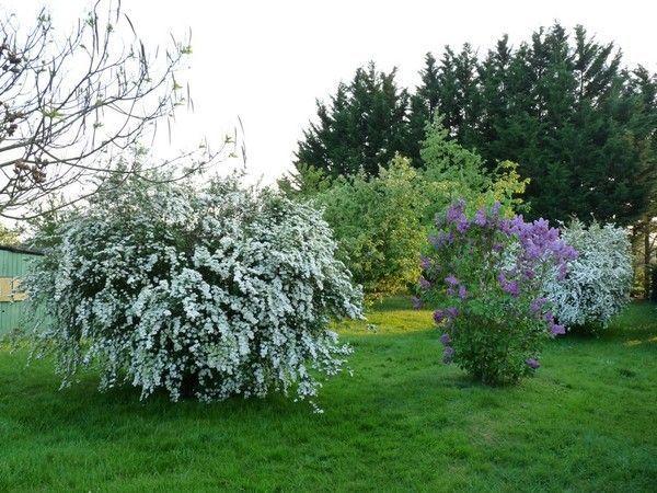 Fleurs plantes arbres page 2 - Quand tailler les lilas ...