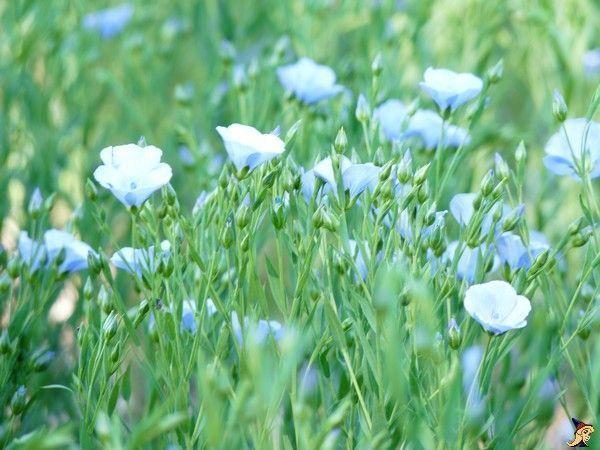 champ,fleurs,bleues,mina,bella,canard,019aa
