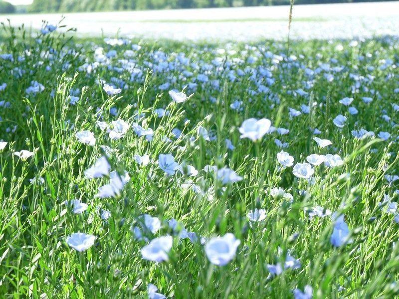 champ,fleurs,bleues,mina,bella,canard,022a