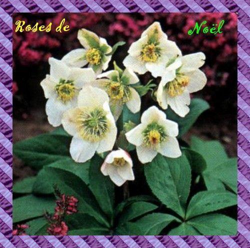 Fleurs plantes arbres page 4 for Plante rose de noel